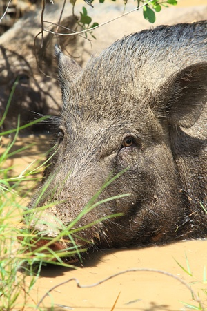 Wild boar feeding in mud photo
