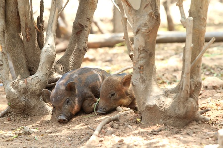 Young Wild boars photo