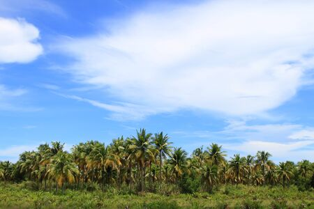Row of coconut on the beach,Koh Kood,Thailand photo