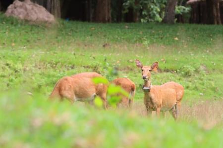herd deer: Deer herd in meadow scene at forest, Thailand Stock Photo