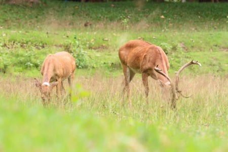 Deer herd in meadow scene at forest, Thailand photo