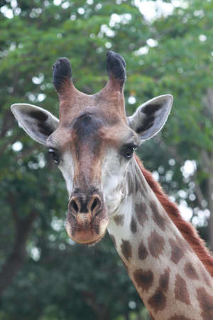 giraffe portrait photo
