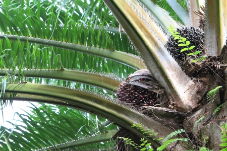 Palm fruit on the tree, tropical plant for bio diesel production Stock Photo - 14974878