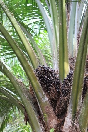 Palm fruit on the tree, tropical plant for bio diesel production photo