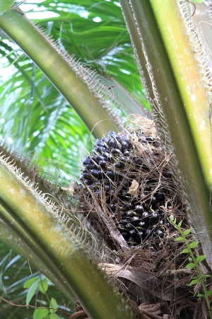 cpo: Palm fruit on the tree, tropical plant for bio diesel production