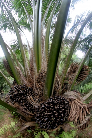bio diesel: Palm fruit on the tree, tropical plant for bio diesel production