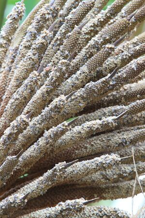 close up inflorescence palm oil photo