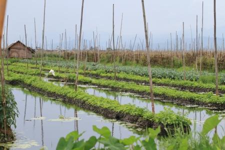 inle: Floating gardens, Inle Lake