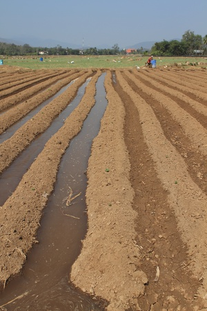 the plowed agricultural field on which grow up potatoes Stock Photo