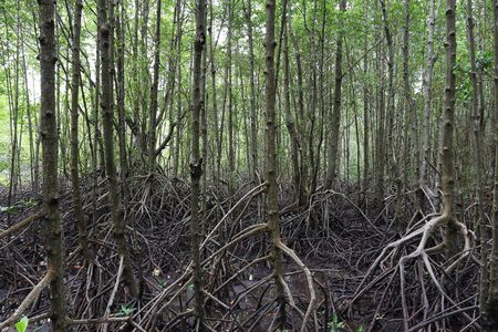 Mangrove tree  with exposed roots, Southeast Asia photo