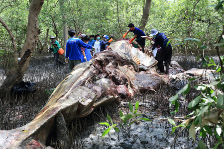 examiner: Samutprakan Thailand - July 1:researcher examiner investigate the whale carcass at the mangrove forest on July 1, 2014 in Samutprakan Thailand.