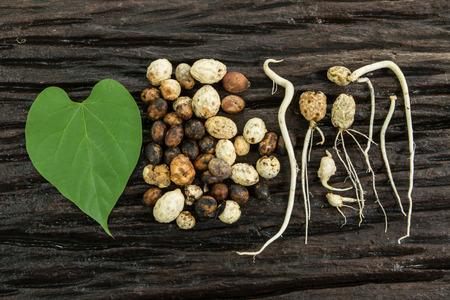 germinaci�n: germinaci�n de las semillas Foto de archivo