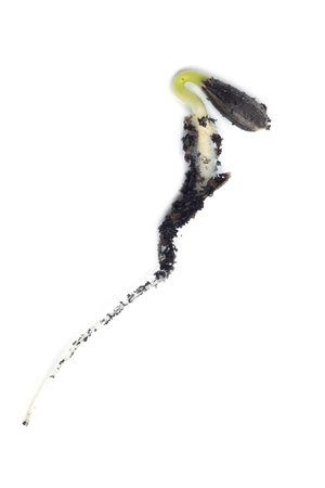 germinating: Germinating runner sunflower seed isolated against white Stock Photo
