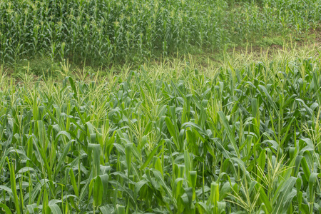 growing up: growing up of green corn field.