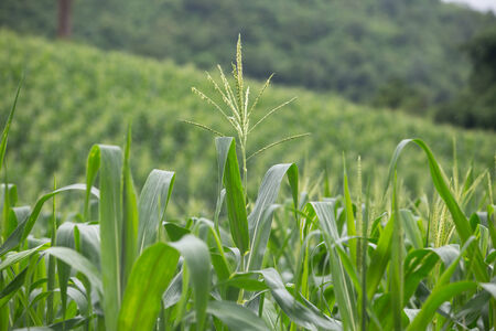 Green field of corn growing up photo