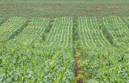 growing up: growing up of green corn field