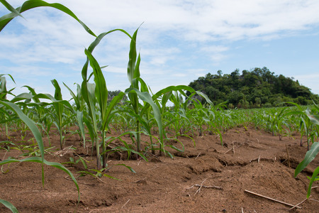 non cultivated: Field of young corn plants Stock Photo