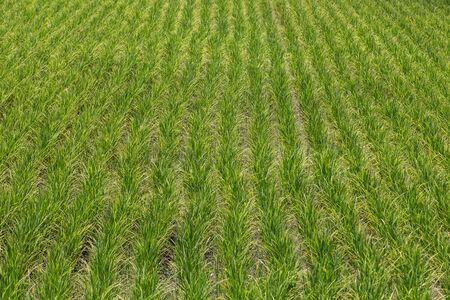 Rice field green landscape  photo