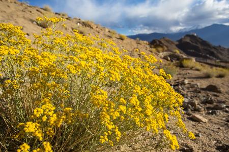 Roadside flowers of Ladakh Imagens