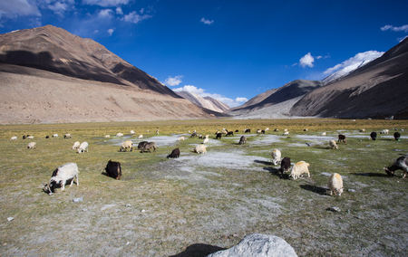 Herd of sheep against the background of distant colorful mountain, Rangdum, Zanskar valley, India photo