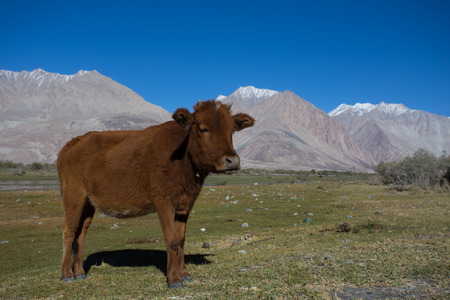 india cow: cow in Nubra Valley in Ladakh  north india
