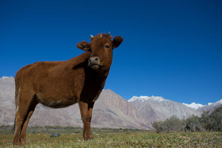 cow in Nubra Valley in Ladakh  north india photo