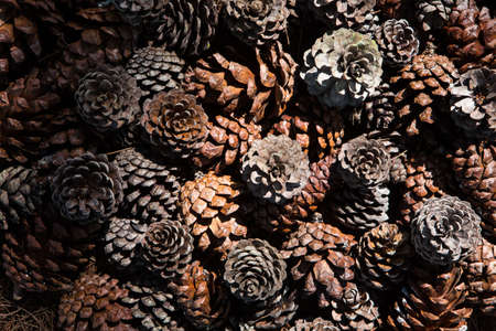 pinecones: Frame of needles and pine-cones