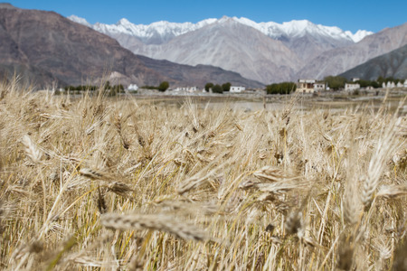 Beautiful golden cereals field, mountain snow background. photo