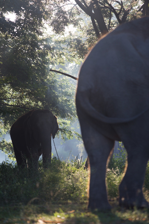 Asian elephant in jungle setting of Thailand. photo