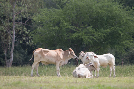 Asia cow  in country field photo