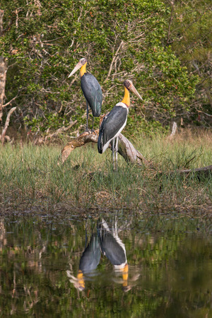 southeast asian ethnicity: Lesser adjutant stork (Leptoptilos javanicus) in nature, Ko Phra Thong: Thailand Stock Photo