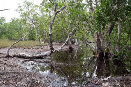 Mangrove trees in a peat swamp forest photo