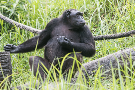 chimpances: Los chimpanc�s en el zool�gico. Foto de archivo