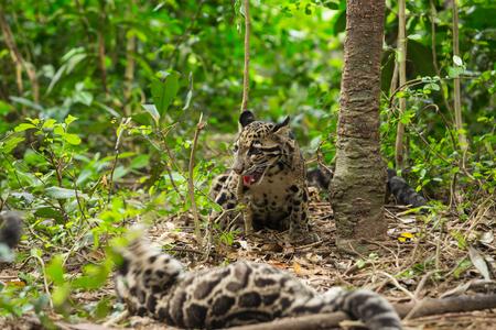 clouded leopard: Clouded Leopard (Neofelis Nebulosa)