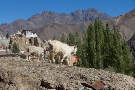 ladakh: goat and Lamayuru monastery in Ladakh