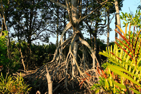 mangroves: The roots of the mangroves Stock Photo