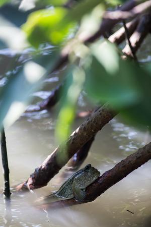 beautiful Mudskipper fish (Boleophthalmus boddarti) climbing on tree branch Stock Photo