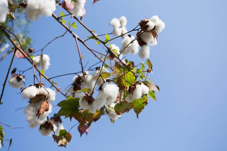 bolls: Cotton   field ready for harvest