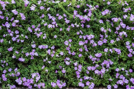 petunias: flowerbed with multicolored petunias and geranium