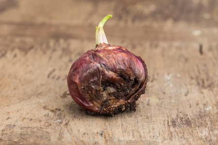 shallot: Shallot on brown wooden background