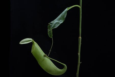 nepenthes: Monkey Cups - Nepenthes sp. Stock Photo