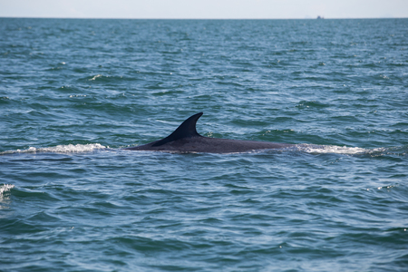 baleen whale: Brydes whale, Edens whale in gulf of Thailand