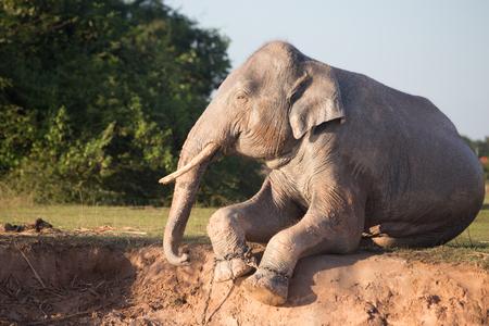 grazer: Elephant taking mud bath