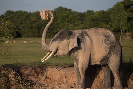 infra: Elephant taking mud bath