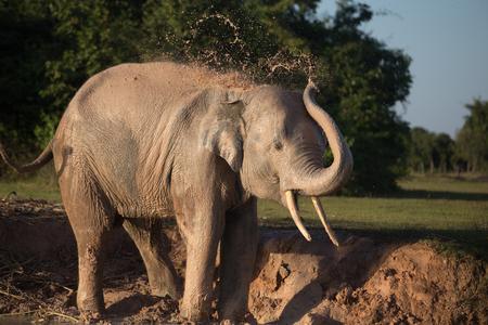 mud: Elephant taking mud bath