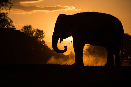 herbivore natural: asia elephant in the forest at sunset