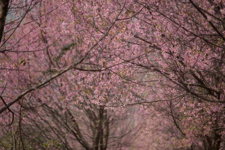 prunus: Wild Himalayan Cherry (Prunus cerasoides) at Thailand Stock Photo