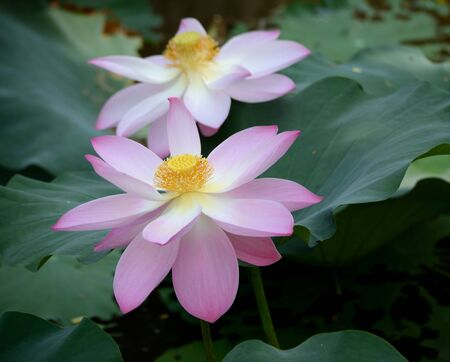Water Flower Lotus