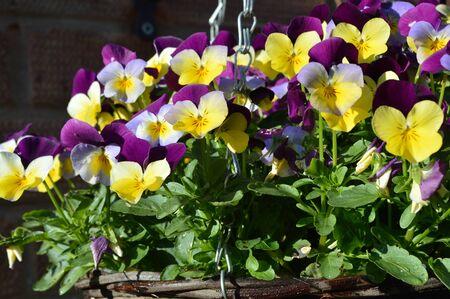 Pansy Flowers Stok Fotoğraf