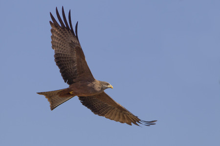 milvus: yellow billed kite